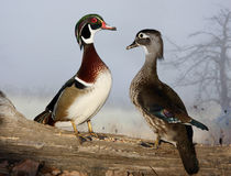 Wood ducks standing on a log Stock Images