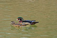 Wood Ducks Stock Image