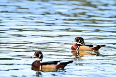 Wood Ducks Stock Images