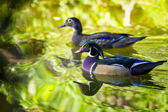 Wood Ducks on a Pond Royalty Free Stock Photos