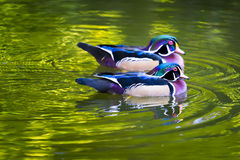 Wood Ducks on a Pond Stock Images