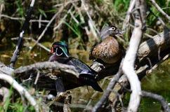 Wood ducks Royalty Free Stock Image