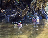 Wood Ducks in Swamp Stock Photography