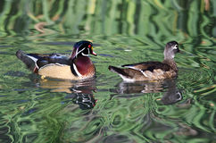 Wood Ducks Swimming in a Pond. Pair of Wood Ducks Swimming in a Pond Stock Photography
