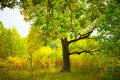Wood in the early autumn Royalty Free Stock Photo