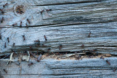 Wood Eating Ants Royalty Free Stock Image