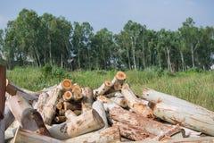Wood eucalyptus. Royalty Free Stock Image