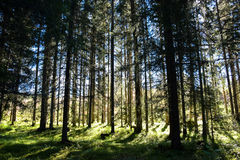 A wood with evergreen trees in Trondheim. A wood with evergreen trees Stock Photography