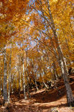 Wood in fall season. A view from inside a forest in fall season with high trees and yellows leaves. Brown dead leaves on the ground Royalty Free Stock Photos