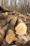 Wood felling. Closeup of woodstack in spring forest Royalty Free Stock Photos