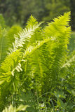 Wood fern leaves on summer day Stock Images
