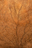 Wood fiber texture of nutshell Royalty Free Stock Images