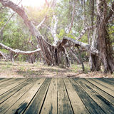 Wood floor on big tree root Royalty Free Stock Photo