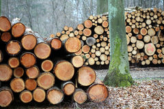 Wood in the forest. Wood pile closeup on  tree trunks Stock Image