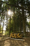 Wood in forest. A lot of cut wood in the forest Stock Images