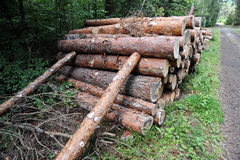 Wood in the forest. Wood pile closeup on tree trunks Royalty Free Stock Image