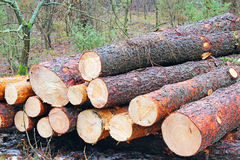 Wood in the forest. Royalty Free Stock Photography