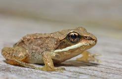 Wood Frog Stock Photo