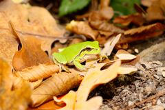 Wood frog Stock Photo