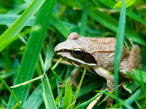 Wood frog Royalty Free Stock Photos