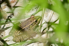Wood frog behind a grass Royalty Free Stock Image