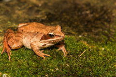 Wood Frog. A close up of a wood frog on a mossy stone in the wild Royalty Free Stock Photos
