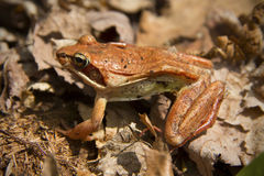 Wood frog on dead leaves at a vernal pool, Connecticut. Royalty Free Stock Image