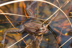 Wood Frog - Lithobates sylvaticus. Wood Frog floating on the surface of a shallow vernal pool. Presqu'ile Provincial Park, Brighton, Ontario, Canada stock photography