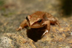 Wood frog - forest frog - natur - Hungary wildlife. Forest frog in Hungary. Hungary wildlife Stock Photo
