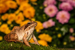 Wood Frog Royalty Free Stock Photography