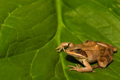 Wood Frog Royalty Free Stock Images