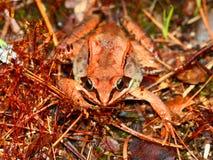 Wood Frog Northwoods Wisconsin Stock Photo