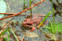 Wood Frog Northwoods Wisconsin Royalty Free Stock Images