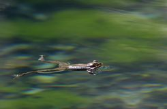 Wood frog in a Pond in Spring Stock Images