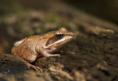 Wood frog. Portrait sitting on forest floor stock image