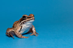 Wood Frog (Rana sylvatica) Stock Photography