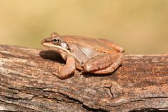 Wood Frog (Rana sylvatica) Stock Photo