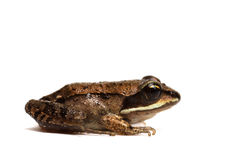 Wood frog (Rana sylvatica) Stock Images