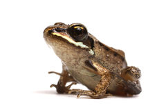 Wood frog (Rana sylvatica) Stock Photos