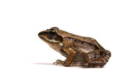 Wood frog (Rana sylvatica). On white background stock images