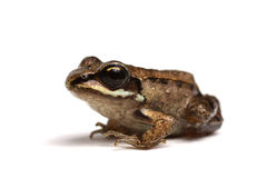 Wood frog (Rana sylvatica) Royalty Free Stock Photos