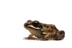 Wood frog (Rana sylvatica) Stock Image