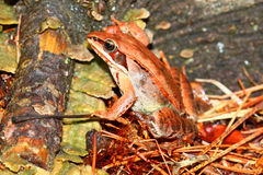 Wood Frog (Rana sylvatica) Wisconsin Royalty Free Stock Photography
