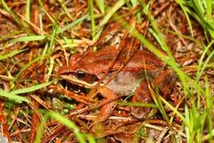 Wood Frog (Rana sylvatica) Wisconsin Stock Photo