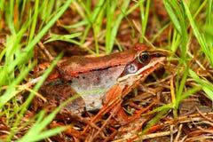 Wood Frog Wisconsin Wildlife Royalty Free Stock Image