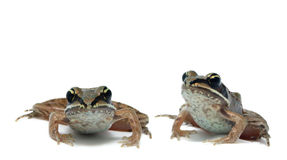 Wood frogs (Rana sylvatica) Royalty Free Stock Image