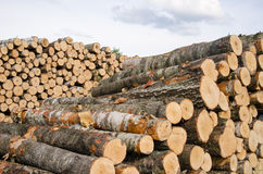 Wood Fuel Birch And Pine Logs Stacks Near Forest Stock Image