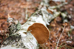 Wood fungus Royalty Free Stock Photo