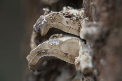 Wood Fungus Cross-Section Royalty Free Stock Photo