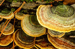 Wood Fungus on the dead tree Royalty Free Stock Image